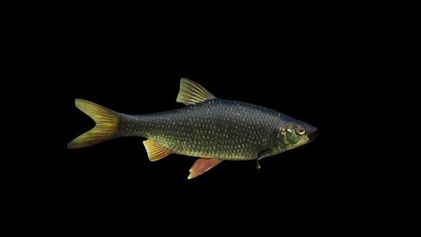 Thumbnail for Black Redeye Fish