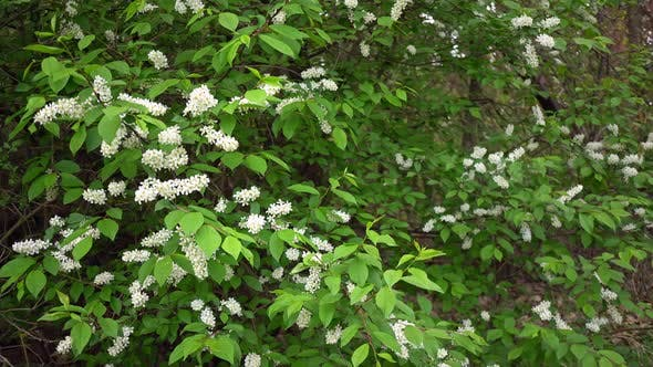 Cover Image for White Lilac in the Woods