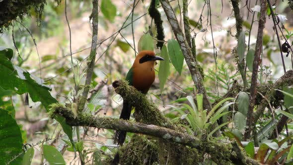 Thumbnail for Rufous Motmot Bird Perched Flying in Ecuador Jungle