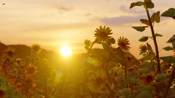 Cover Image for Sunflower Field Sunset