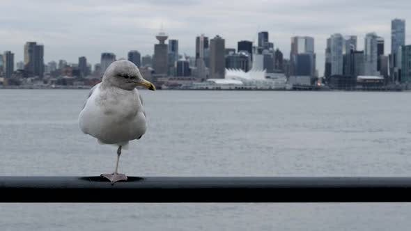 Thumbnail for Pier Seagull - Vancouver Waterfront