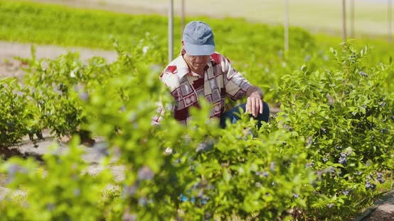 Thumbnail for Confident Male Farm Researcher Examining Blueberry on Field