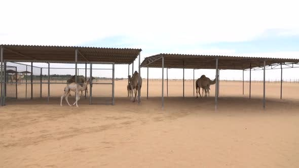 Thumbnail for Some Camels in the Corral
