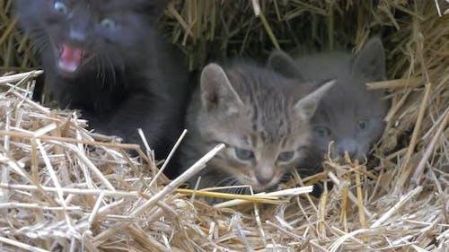 Kätzchen versteckt im Heuhaufen meauen und suchen zu Kamera 4K 2160p UHD Filmmaterial - Kleine Katzen in der