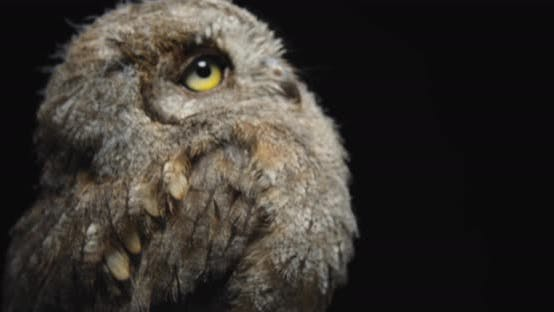 Thumbnail for Beautiful Owl Sitting on a Branch in the Studio, Close Up,