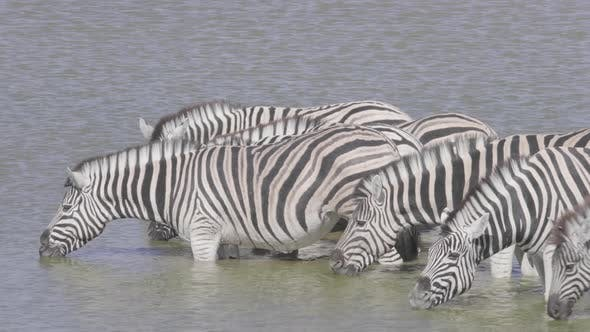 Thumbnail for Zebras in Waterhole Drinking