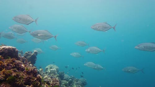 Shoal of Sardines in the Sea