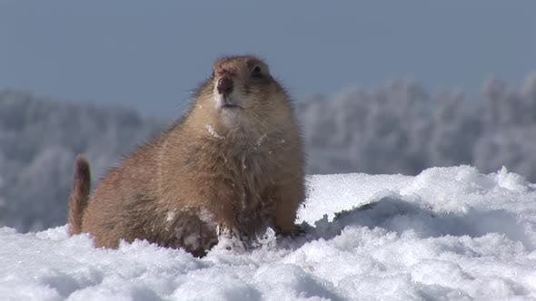 Thumbnail for Black-tailed Prairie Dog Adult Lone Alarmed Nervous Wary in Winter Tail