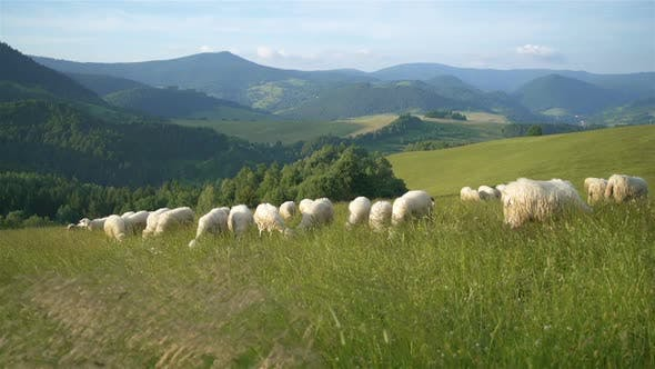Thumbnail for Merino Sheep Graze Fresh Grass in Green Meadow Nature