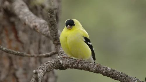Goldfinch Male Adult Lone Perched Looking Around in Spring in South Dakota