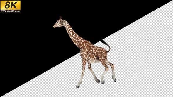 Thumbnail for 8K Giraffe Run