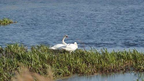 Les cygnes sauvages vivent sur l'étang