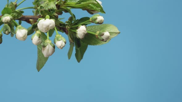 Spring Apple Tree Flowers Blossom Timelapse