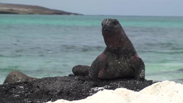 Marine Iguana Adult Lone in Autumn Surf Waves Ocean in Ecuador