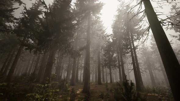 Thumbnail for Sunbeams in Natural Spruce Forest
