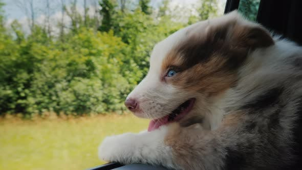 Thumbnail for A Puppy Looks Out of a Car Window, an Inside View of a Car That Rides Fast