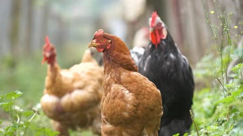 Hens feeding on traditional rural barnyard. Close up of chicken on barn yard. Free range poultry