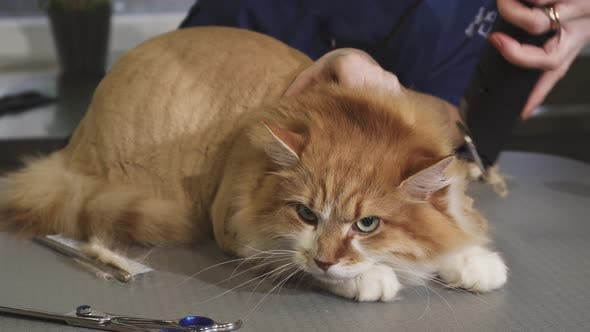 Thumbnail for Adorable Fluffy Ginger Cat Being Shaved By a Vet at the Clinic