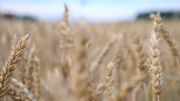 Thumbnail for Ears Of Wheat In Field. Nature Landscape. Closeup.
