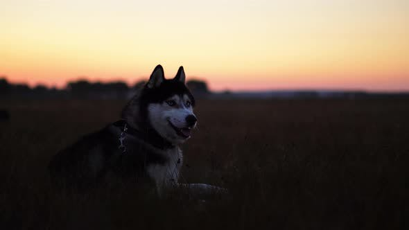 Thumbnail for Siberian Husky with Blue Eyes and Gray White Hair Sits on the Grass and Looks Into the Distance at
