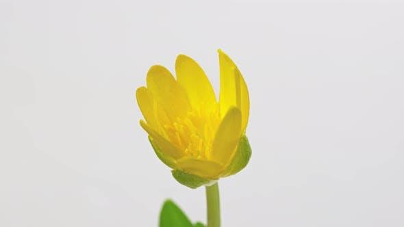 Ficaria Verna Fleur Jaune Timelapse sur Blanc Gros plan