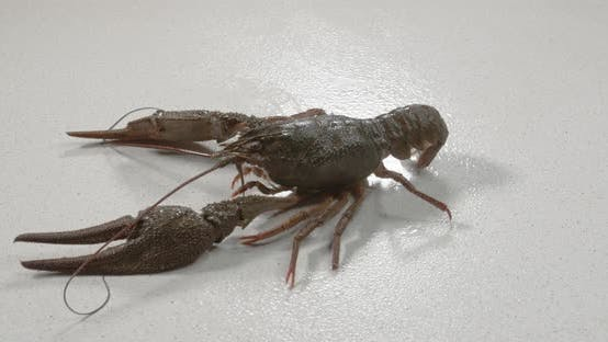 Live Crayfish on White Background. European Crayfish Astacus Astacus