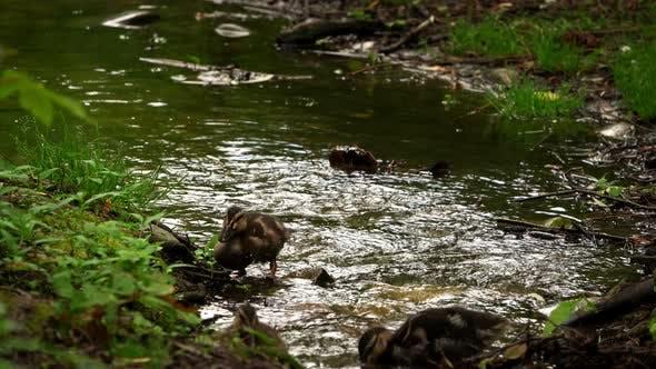 Thumbnail for Little Baby Ducks In Creek