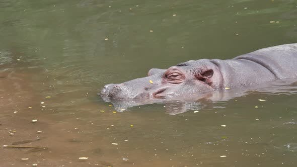 Hippo in the lake