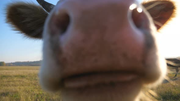 Thumbnail for Curious Cow Looking Into Camera and Sniffing It. Cute Friendly Animal Grazing in Meadow Showing