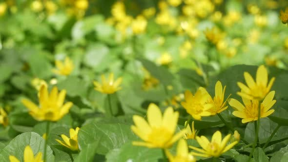 Thumbnail for Glade With Yellow Flowers