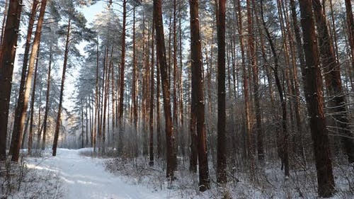 Winter Snowy Coniferous Forest. Snowy Path, Road, Way Or Pathway In Winter Forest. Pan, Panorama.