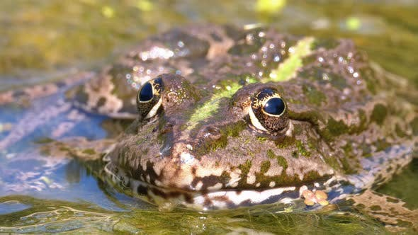 Thumbnail for Green Frog in the River. Close-Up. Portrait Face of Toad in Water with Water Plants