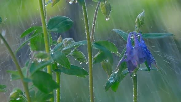 Thumbnail for Blue Columbine Flower Under Rain