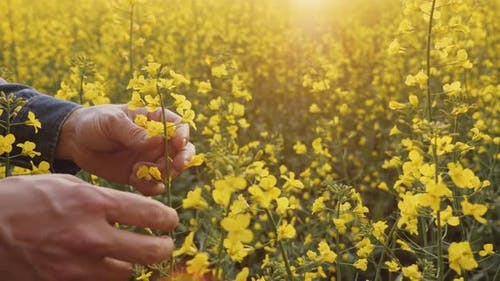 Farmer Inspects the Stems of Flowering Rapeseed in the Field