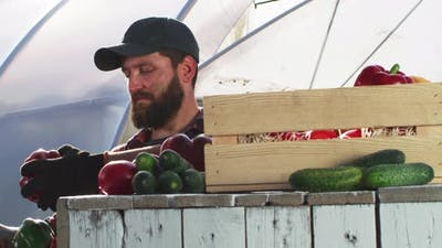 Adult Gardener Sorting Peppers on Farm