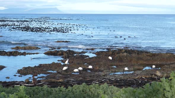 African sacred ibis on the rocks around Betty's Bay in South Africa