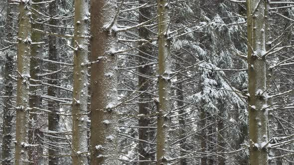 Thumbnail for Spruce trees covered with fresh snow in the winter forest, in the snow falling