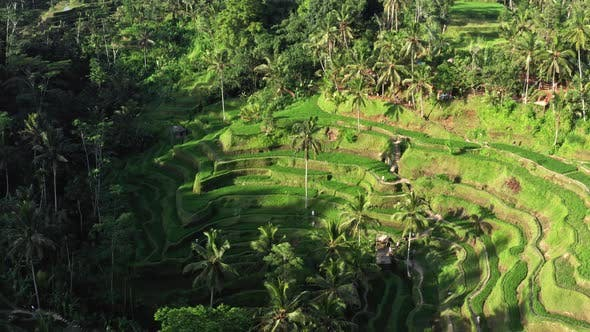 Thumbnail for Flying Above Wonderful Landscape, Aerial View of Green Rice Terrace and Tropical Rainforest Under