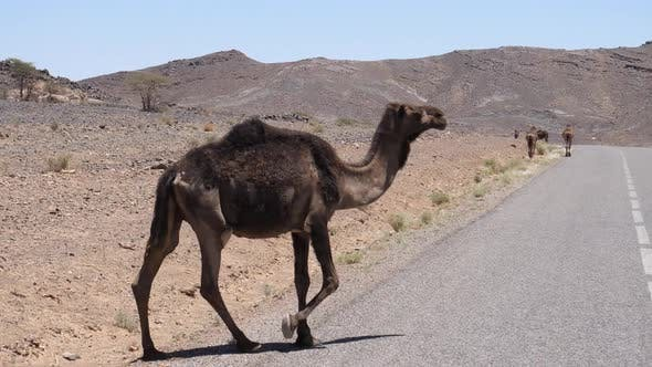 Thumbnail for Wild dromedary camel walking on a highway
