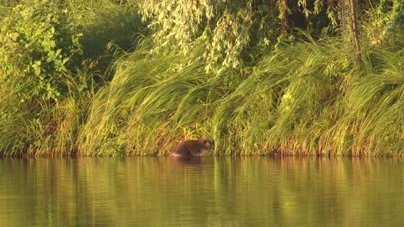 Thumbnail for Beaver Adult Lone Working Collecting Carrying in Summer Dawn Morning Grass Plants