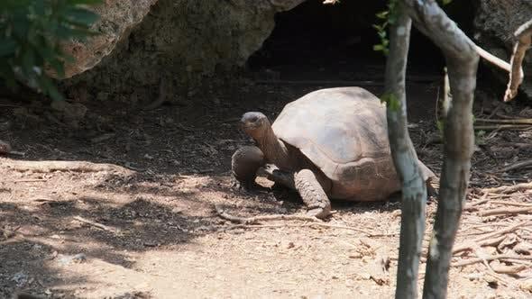 A Huge Aldabra Giant Tortoise Walking on a Prison Island in Zanzibar Africa