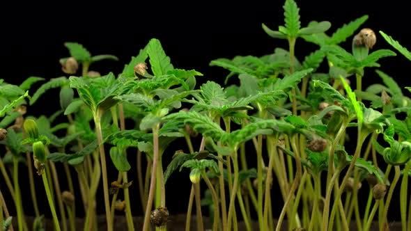 Thumbnail for Marijuana Plant Growing