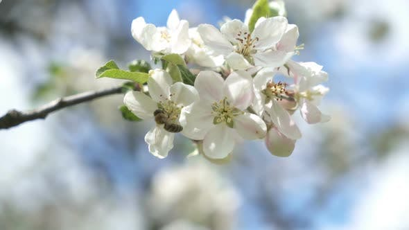 Bee Pollinates a White Flower in Fruit Tree Garden in Sunny Spring Nature
