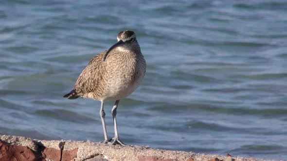 Whimbrel Adult Alone Standing Walking in Mexico