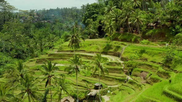 Thumbnail for Aerial shot of the lush green rice paddies of Bali