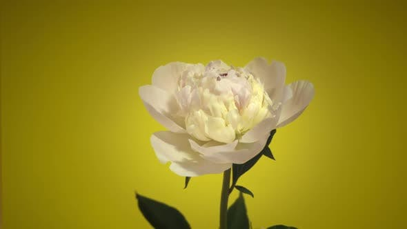 Thumbnail for Pink Peony Flower Opening Timelapse. Impression Video Background.