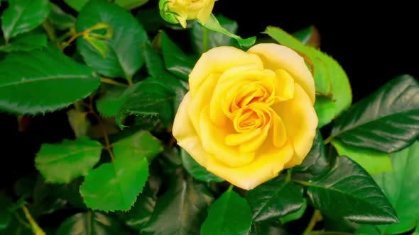 Time Lapse of Opening Yellow Rose Flower