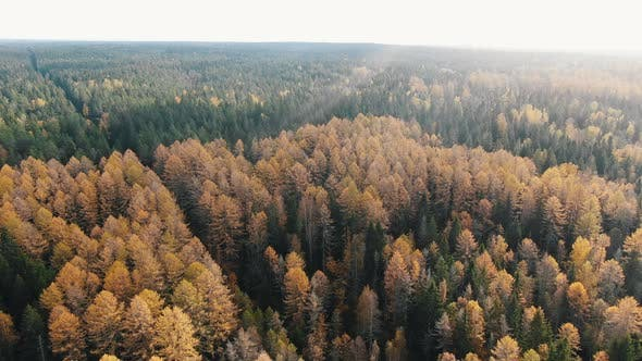 Thumbnail for Amazing Forest with Larch and Coniferous Trees on Autumn Day
