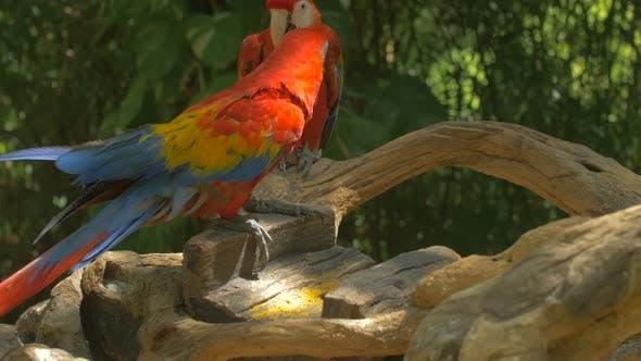 Thumbnail for Perroquets marchant sur une branche