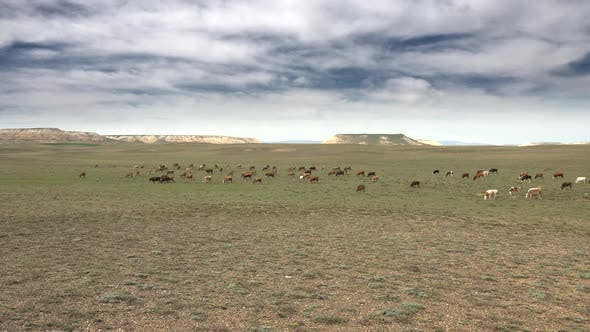 Thumbnail for Herd of Cows Grazing on Plain Next to Flat Mesa Mountain Topography